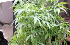 Cannabis education and awareness campaign - mosaicedition.ca-ea - file photo