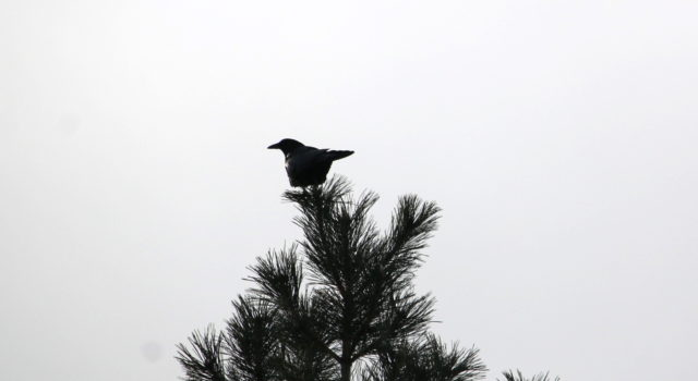 16:05 – The hawk heard the call of a crow. The crow made a loud crow-call. Crow turned away and perched on a nearby tree.